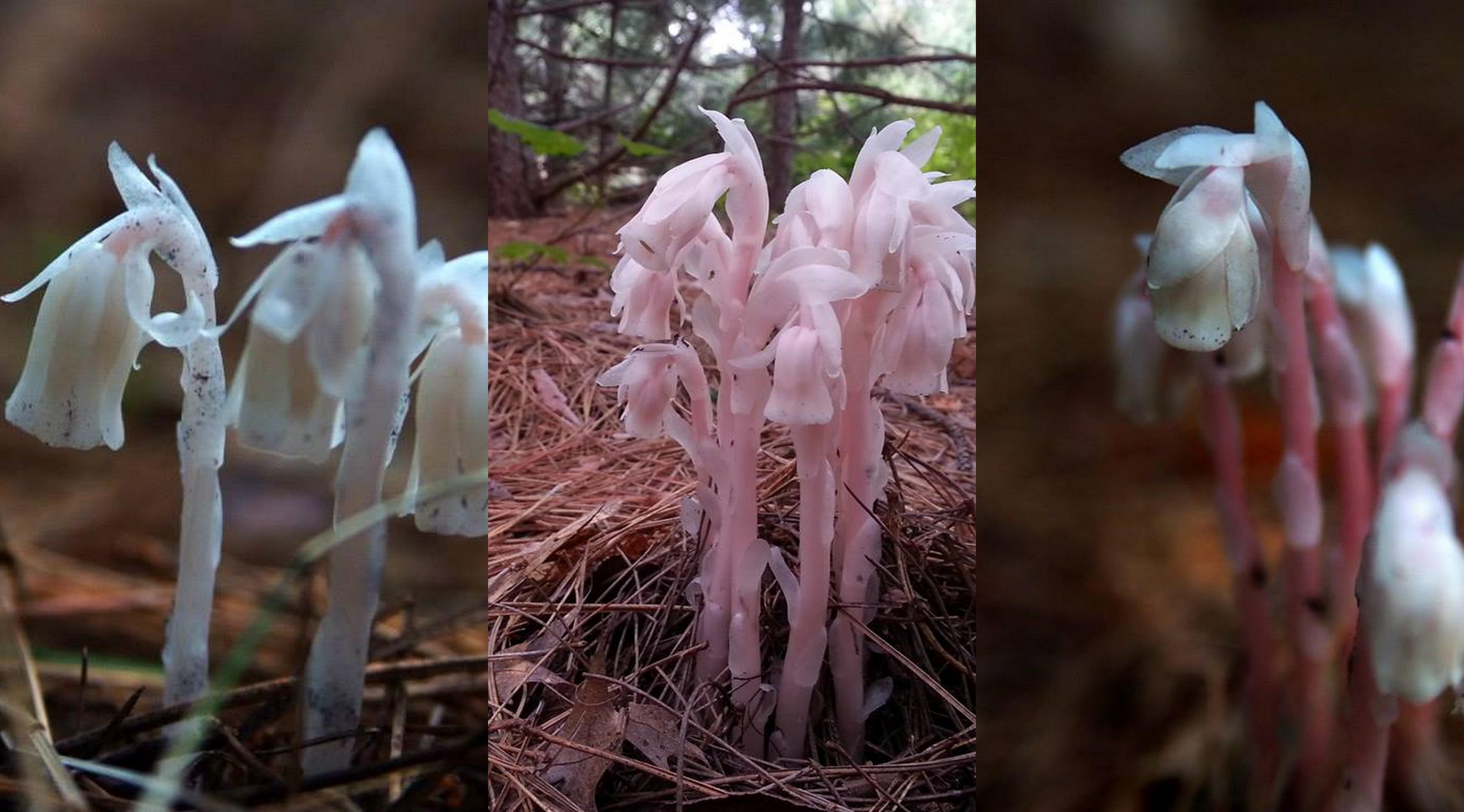 Color range of ghost plant. Fun fact: these photos were taken less than 10 minutes and 30 feet apart. Photo: Katie Grzesiak