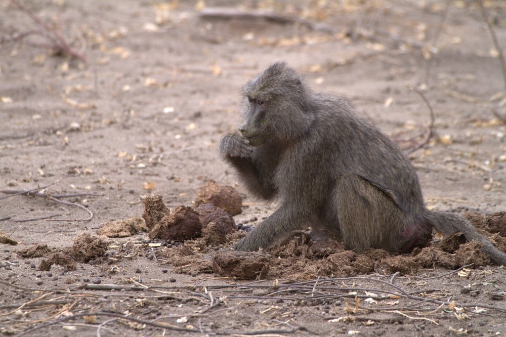 Mice aren't the only animals who are coprophagic. Behold, a baboon eating elephant poop! Will that affect the baboon's microbiome?