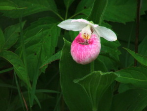 Showy lady's slipper.  Photo:  Bob Grzesiak