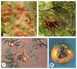 Various weird stages of a weird fungus.  Photos from Wikipedia and Cornell University