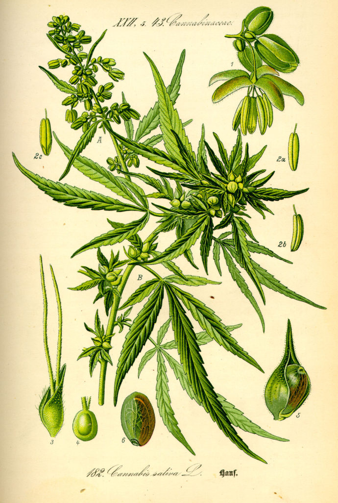 Illustration_Cannabis_sativa0