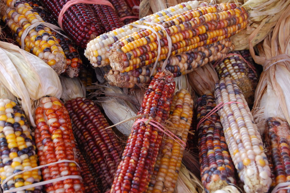 Indian_Corn_Maize_Zea_mays_3008px